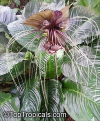 Tacca chantrieri - Bat Head Lily, Black Tacca  Click to see full-size image