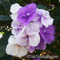 Brunfelsia grandiflora, Yesterday -Today -Tomorrow, Kiss-me-quick, Royal Purple Brunfelsia