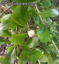 Randia aculeata, White Indigoberry  Click to see full-size image
