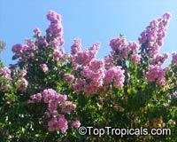 Bougainvillea arborea, BougainvilleaClick to see full-size image