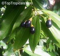 Cinnamomum aromaticum - Cassia CinnamonClick to see full-size image