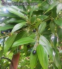 Cinnamomum aromaticum, Cinnamomum cassia, Cassia cinnamon, Chinese cinnamonClick to see full-size image
