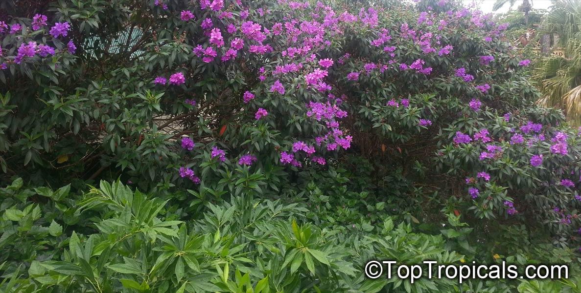 how to take a tibouchina semidecandra flowers cutting