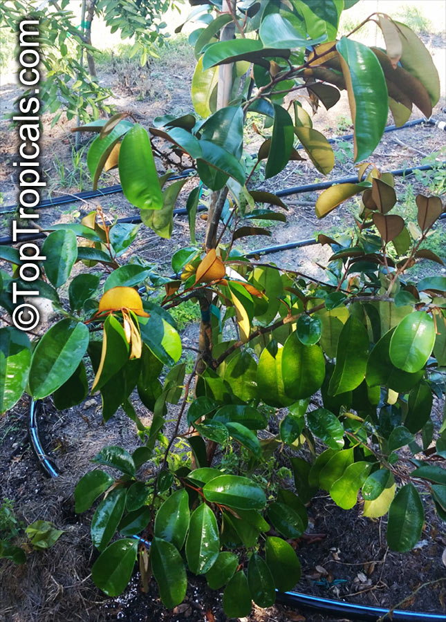 star apple chrysophyllum cainito as an Chrysophyllum cainito aka star apple caimito the star apple or caimito is grown in many of the tropical and subtropical areas and is susceptible to cold/frost it.