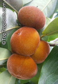 Diospyros blancoi - Velvet apple  Click to see full-size image