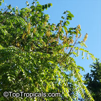 Caesalpinia bonduc, Grey Nicker, Bonduc Nut  Click to see full-size image