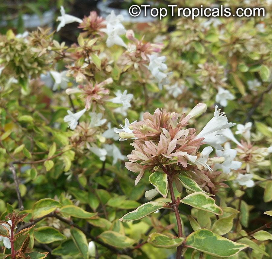Abelia Grandiflora Glossy Abelia Toptropicalscom