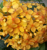 Ixora chinensis, Jungle flame, Needle flower  Click to see full-size image