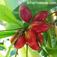 Synsepalum dulcificum, Miracle Fruit - seeds  Click to see full-size image