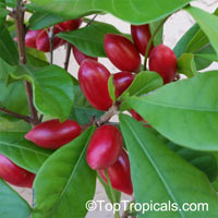 Synsepalum dulcificum, Richardella dulcifica, Miracle Fruit  Click to see full-size image