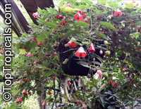 Abutilon x hybridum, Flowering Maple, Weeping Maple,Chinese Lantern