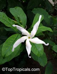 Tabernaemontana sp., TabernaemontanaClick to see full-size image
