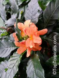Crossandra infundibuliformis, Crossandra undulifolia Orange, Tropic Flame