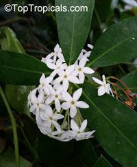 Acokanthera oblongifolia, Acokanthera spectabilis, Carissa spectabilis, Bushman's Poison, Wintersweet  Click to see full-size image
