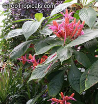 Aphelandra sinclairiana, Orange Shrimp plant, Coral Aphelandra, Panama Queen  Click to see full-size image