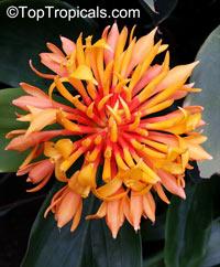 Burbidgea schizocheila - Voodoo Flame Ginger  Click to see full-size image