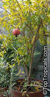 Punica granatum, Pomegranate, Granada, Grenade, Pomegranate, Granada, Anar, Granaatappel, Pomo Granato, Romeira, Melo Grano  Click to see full-size image