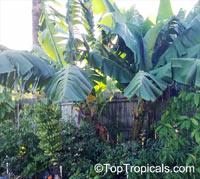 Musa sp., Banana, Bananier Nain, Canbur, Curro, Plantain  Click to see full-size image
