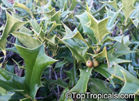 Ilex cornuta, Chinese Holly, Horned Holly  Click to see full-size image
