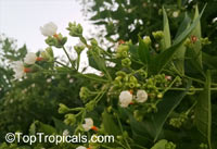 Nyctanthes arbor-tristis, Arbor Tristis, Sad tree, Night Jasmine, Parijat