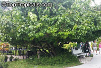 Sarcocephalus latifolius, Nauclea latifolia, African Peach, Pin Cushion Tree   Click to see full-size image