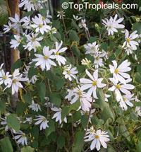 Montanoa guatemalensis, Daisy Vine, Daisy Tree  Click to see full-size image