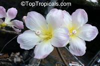 Ceiba sp., Ceiba, Floss Silk Tree, Kapok Tree  Click to see full-size image