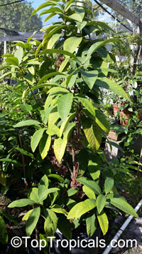 Ixora longistipula, Tree Ixora, Pink Globe   Click to see full-size image