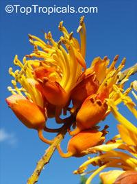 Colvillea racemosa, Colville's glory, Colvillia  Click to see full-size image