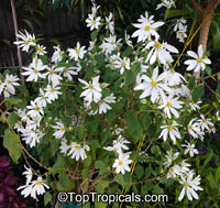 Montanoa guatemalensis, Daisy Vine, Daisy Tree  Click to see full-size image
