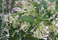 Cestrum nocturnum, Night Blooming Jasmine, Queen of the Night, Night Jessamine, Lady of the Night  Click to see full-size image
