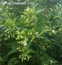 Nyctanthes arbor-tristis, Arbor Tristis, Sad tree, Night Jasmine, ParijatClick to see full-size image