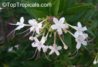 Clerodendrum heterophyllum, Clerodendrum aculeatum, Tree of little stars, Escambron, Tamourette  Click to see full-size image