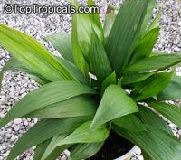 Spathoglottis kimballiana , Ground Orchid, Garden Orchid  Click to see full-size image