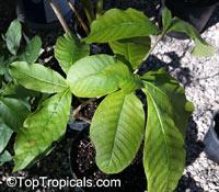 Stemmadenia grandiflora, Tabernaemontana grandiflora, Wedding Tree, Huevos de gato, Lechugo, Venenillo  Click to see full-size image