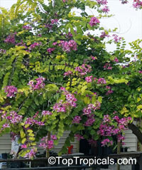 Bauhinia blakeana, Hong Kong Orchid Tree  Click to see full-size image