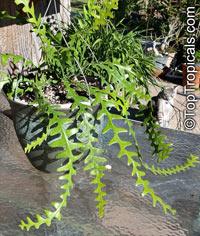Cryptocereus anthonyanus, Selenicereus anthonyanus, Anthony's Rick-Rack, Zig-Zag Cactus, Fishbone Orchid Cactus  Click to see full-size image