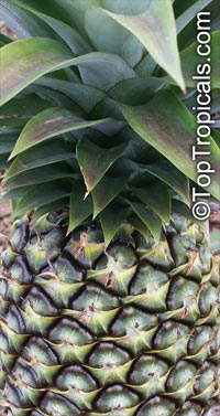 Ananas sp., Pineapple, Pina  Click to see full-size image