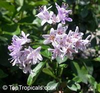Ehretia rigida, Puzzle BushClick to see full-size image