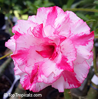 Adenium Siam Purple, Grafted  Click to see full-size image