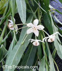 Gomphocarpus physocarpus, Asclepias physocarpa, Baloonplant, Cotton Bush, Swan Plant, Balloon Plant, Family Jewels Milkweed Tree  Click to see full-size image