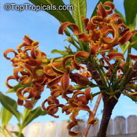 Strophanthus bovinii, Wood Shaving Flower  Click to see full-size image