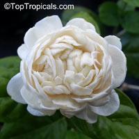 Jasminum sambac Grand Duke Of Tuscany, Nyctanthes sambac, Mogori Sambac, Butt Mograw, Hawaiian Pikake, Moss Rose Jasmine, Sambac Flore Pleno  Click to see full-size image