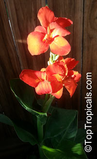 Canna sp., Canna Lily, Canna