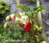 Impatiens niamniamensis, Parrot Plant  Click to see full-size image