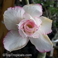 Adenium hybrid (double flower), Double Flower Desert Rose Hybrid  Click to see full-size image