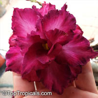 Adenium sp. black hybrids, Black Desert Rose  Click to see full-size image