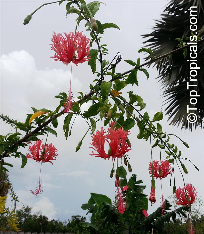 Hibiscus Schizopetalus Coral Hibiscus Skeleton Hibiscus Chinese