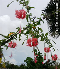 Hibiscus schizopetalus, Coral Hibiscus, Skeleton Hibiscus, Chinese Lantern, Japanese Lantern, Fringed Hibiscus