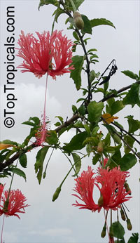 Hibiscus schizopetalus, Coral Hibiscus, Skeleton Hibiscus, Chinese Lantern, Japanese Lantern, Fringed Hibiscus  Click to see full-size image